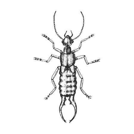 Common earwig . Insect bug beetle in vintage old hand drawn style engraved illustration woodcut. Illusztráció