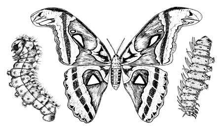 Butterfly or wild moths and caterpillars insects. Mystical symbol or entomological of freedom. Engraved hand drawn vintage sketch for wedding card or logo. Vector illustration. Arthropod animals.