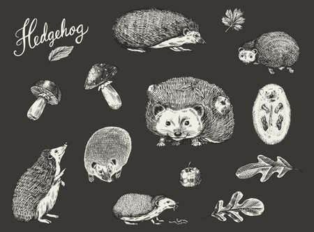 Hedgehog set. Spiny forest animal. Vector Engraved hand drawn Vintage sketch for label or poster. Vettoriali