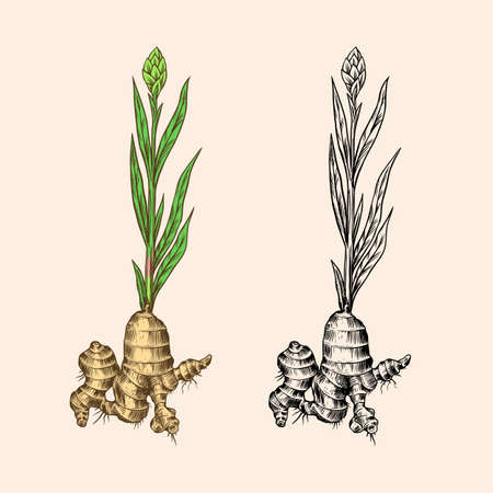 Ginger root, Chopped rhizome, Fresh plant. Vector Engraved hand drawn sketch. Pieces of ingredient set. Detox spice.