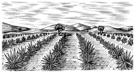 Agave field. Vintage retro landscape. Harvesting for tequila making. Engraved hand drawn sketch. Woodcut style. Vector illustration for menu or poster. Ilustración de vector