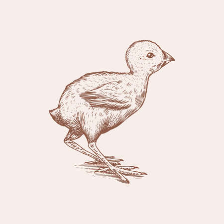 Chicken or farm little bird. Engraved hand drawn vintage sketch. Woodcut style. Vector illustration for menu or poster.