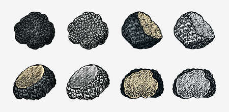 Truffles mushrooms set. Engraved hand drawn vintage sketch. Ingredients for cooking food. Woodcut style. Vector illustration.