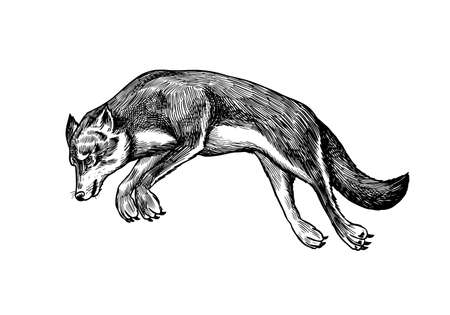 Gray wolf. Gray wolf. A predatory beast. Wild forest animal jumping. Vector Engraved hand drawn Vintage old sketch for stamp, t-shirt or typography or badge. Çizim