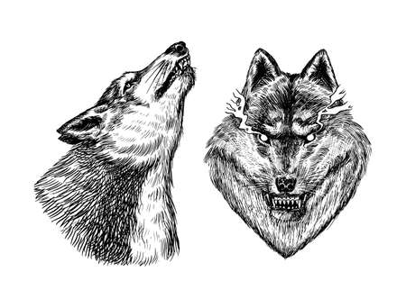 Gray wolf. Gray wolf. A predatory beast. Wild forest animal. Vector Engraved hand drawn Vintage old sketch for stamp, t-shirt or typography or badge.