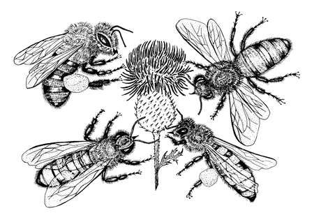 Bee and Honey. Mead and insect. Vector Engraved hand drawn Vintage old sketch for t-shirt or typography or badge. Vector illustration Çizim