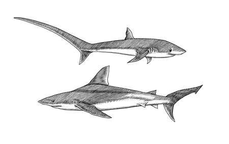 Thresher shark and Atlantic Bull shark or mackerel porbeagle predator. Marine animal. Sea life. Hand drawn vintage engraved sketch. Ocean fish. Ilustrace