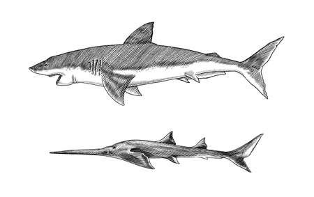 Great white shark or mackerel shark and Sixgill sawshark. Marine predatory animal. Sea life. Hand drawn vintage engraved sketch. Ilustrace