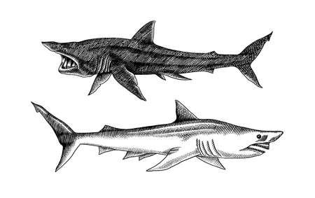 Basking shark and Sand shark. Marine predatory animal. Sea life. Hand drawn vintage engraved sketch. Ocean fish. Ilustrace