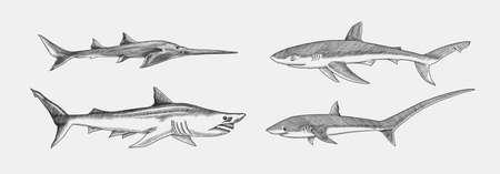 Blue shark and Sixgill sawshark. Sand and Thresher shark. Marine predator animal. Sea life. Hand drawn vintage engraved sketch. Ocean fish. Ilustrace