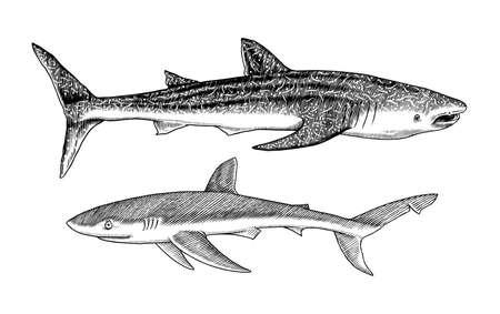 Whale shark and Blue shark. Marine predator animal. Sea life. Hand drawn vintage engraved sketch. Ocean fish. Ilustrace
