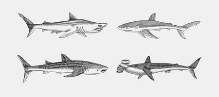 Whale and Blue shark. Great hammerhead and Sand shark. Marine predator animal. Sea life. Hand drawn vintage engraved sketch. Ocean fish. Ilustrace