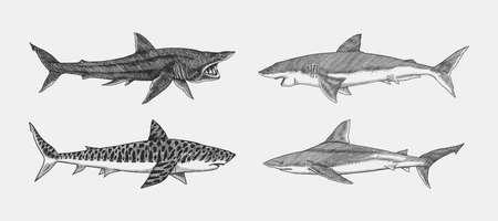 Great white shark and Tiger Basking Atlantic Bull shark or mackerel porbeagle predator. Marine animal. Sea life. Hand drawn vintage sketch. Ocean fish.