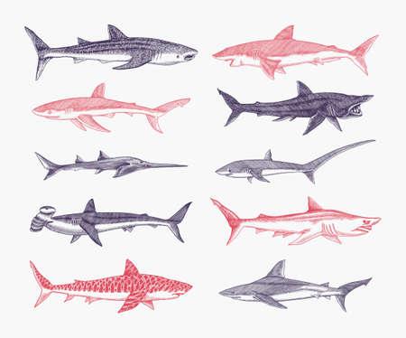 Sharks set.Great white shark, Sixgill sawshark. Basking Sand Tiger Hammerhead Thresher Atlantic Bull Mackerel Whale Blue sharks. Marine fish. Sea life.