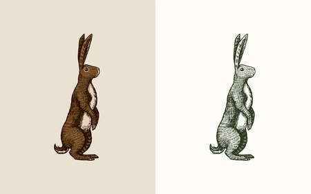 Wild hare or brown rabbit stands on its hind legs. European Bunny or cowardly coney. Hand drawn engraved old animal sketch for T-shirt, tattoo or label or poster. Vector illustration.