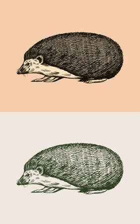 Hedgehog or Spiny forest animal. Prickly creature. Side view. Vector Engraved hand drawn Vintage sketch for label or poster.