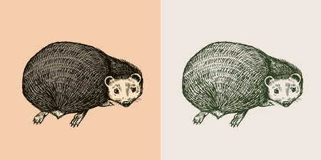 Hedgehog looks back. Spiny forest animal. Prickly creature. Vector Engraved hand drawn Vintage sketch for label or poster.