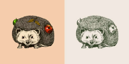Hedgehog with apples. Spiny forest animal. Prickly creature. Vector Engraved hand drawn Vintage sketch for label or poster.