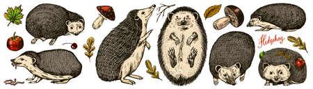 Hedgehog set. Spiny forest animal. Vector Engraved hand drawn Vintage sketch for label or poster. Ilustrace
