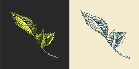 Hop leaves for Malt Beer. Engraved vintage set. Hand drawn collection. Sketch for web or pub menu. Design elements isolated on white background.