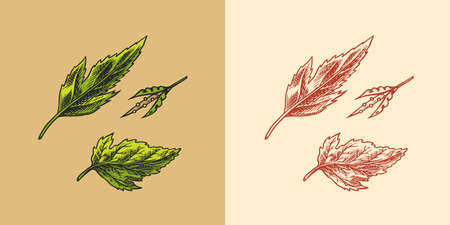 Mustard plant. Spicy condiment. Green leaves. Harvest concept. Illustration for Vintage background or poster. Engraved hand drawn sketch.