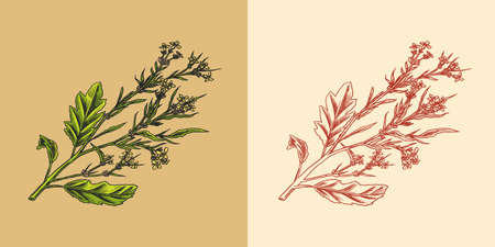 Mustard plant. Spicy condiment. Harvest concept. Illustration for Vintage background or poster. Engraved hand drawn sketch.