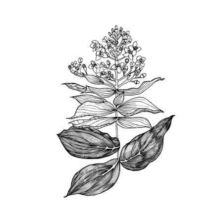 Medinilla. Flowering plants. Tropical or exotic leaves and leaf. Vintage fern. Engraved flowers. Hand drawn. Botanical background. Summer herb