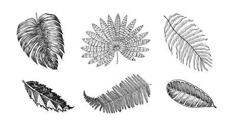 Palm plant, Monstera. Flowering plants. Tropical or exotic leaves and leaf. Vintage fern. Engraved flowers. Hand drawn. Botanical background. Illustration