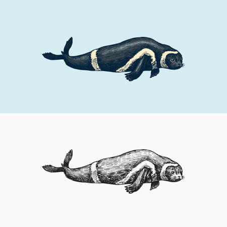 Ribbon seal. Marine creature, nautical mammals and pinnipeds. Animal in Doodle style. Vintage retro signs. Hand drawn engraved sketch  イラスト・ベクター素材