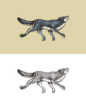 Gray wolf. A predatory beast. Wild forest animal jumping. Vector Engraved hand drawn Vintage old sketch for stamp, t-shirt or typography or badge.  イラスト・ベクター素材