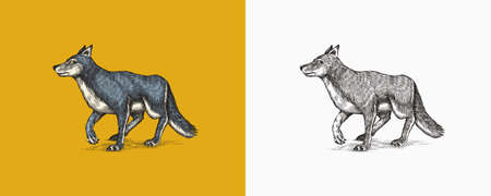 Gray wolf. A predatory beast. Wild forest animal. Vector Engraved hand drawn Vintage old sketch for stamp, t-shirt or typography or badge.