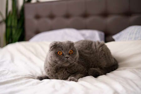 Scottish fold cat. Gray cat laying on a bed. Cat in a cozy house. A cat with an expressive look. Greeting card.