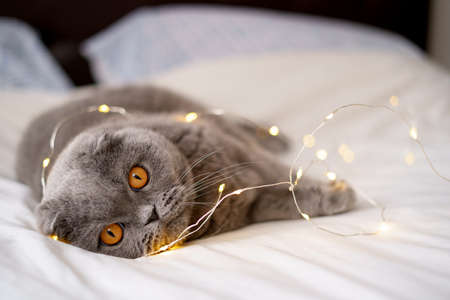 Scottish fold cat surrounded by glowing lights. Gray cat laying on a bed. Cat in a cozy house. A cat with an expressive look. Greeting card.