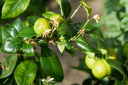 Bergamot branch with limes. Banque d'images