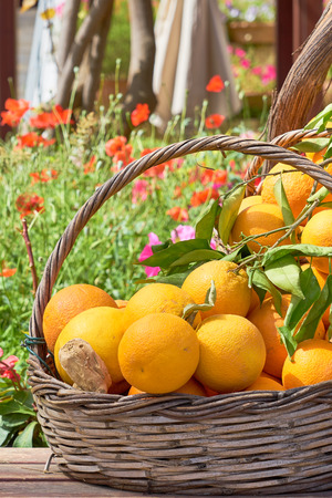 Oranges in a trug in sunshine outdoors. 写真素材