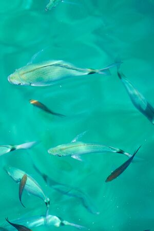 Fishes in clear tropical sea water. Natural background.