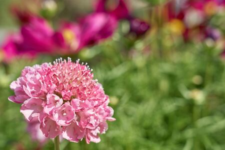Pink flowers outdoors with blurred background. Copy space.