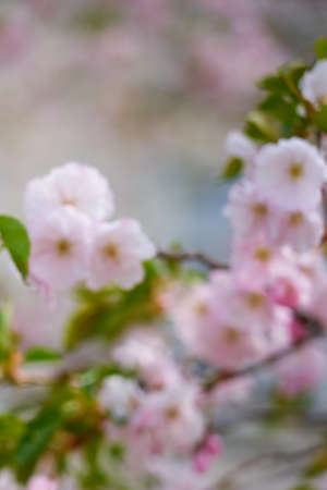 Blossoming cherry with blurred trees in the background. Copy space.