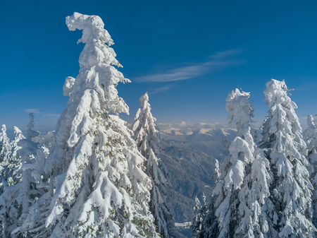 Winter wonderland landscape. Christmas background with trees covered in snow, clear blue sky for copy text and Ciucas mountains, in Brasov, Romania far behind.
