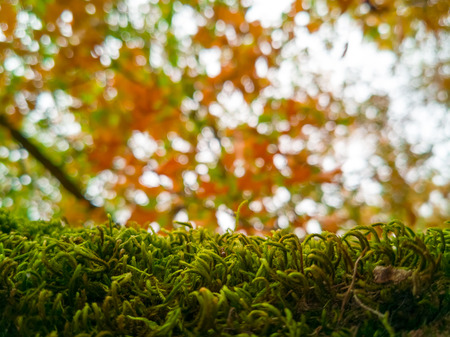 Close up of green lush moss on a tree with bokeh soft lights in the background, from autum leaves and sunlight. Magical autumn scene of a forest landscape. Stok Fotoğraf - 118140455