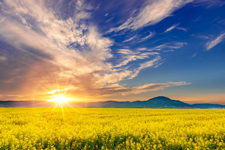 Beautiful sunset in a spring evening over a colorful bright yellow rapeseed Brassica napus crop filed, with dramatic cloudy sky, enhanced sun light and mountains in the background.