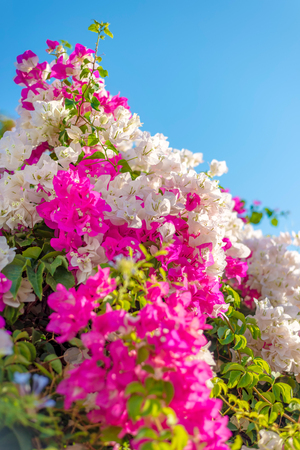 Beautiful big bougainvilleas branches full with pink and white blooming flowers against a nice blue gradient sky background, very narrow depth of field shot.