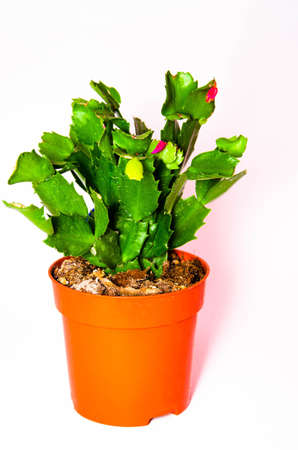 Cactus in a pot on a white background. Flat, smooth, needleless cactus in macro. Flower home. Cactus in a pot in a female hand. Place for text Copy Space