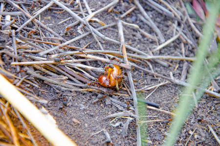 Ants eat the May bug. Ants attack a bug