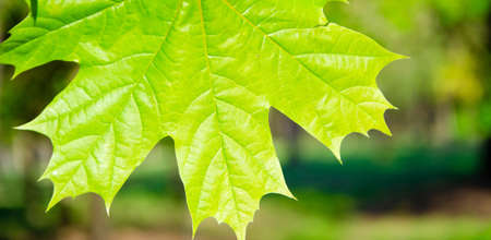 Maple leaf in macro on a blurred background