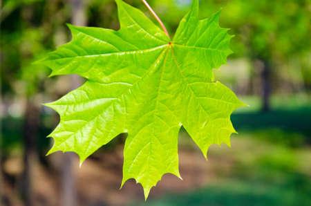 Maple leaf in macro on a blurred background Standard-Bild