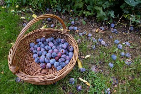 Plum fruit in a wicker basket immediately after picking from the tree