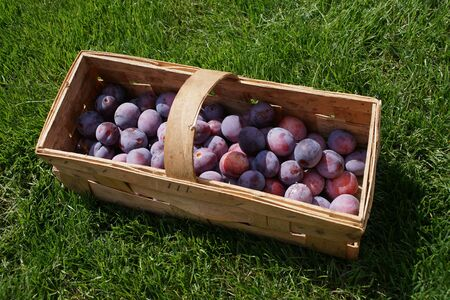 Recently picked plums in the basket Stock Photo
