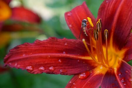Episyrphus balteatus marmalade hoverfly on a red lily flower after rain in the garden