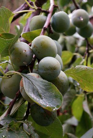Unripe green plum fruit on the branch between leaves in the garden Stock fotó